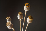 Head heads of opium poppy (Papaver somniferum) on a black background