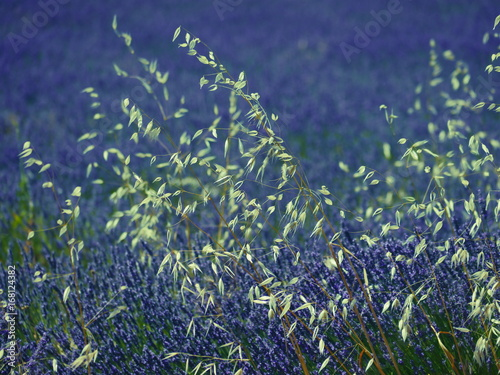 Papiers peints Aubergine dry grasses befor lavender field