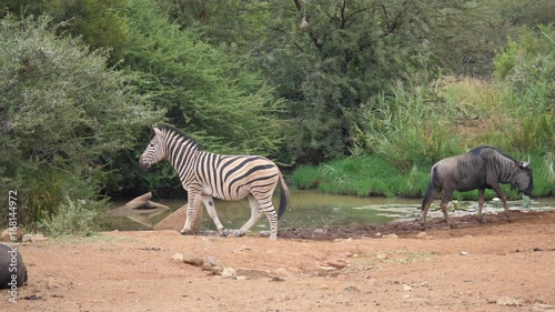 Pan from a zebra passing by a waterpool with wildebeests and a giraffe in the Pilanesberg Game Reserve South Africa