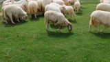 Sheep in Nature Meadow Farming Outdoor on Grass Background Great For Any Use. - 168164120