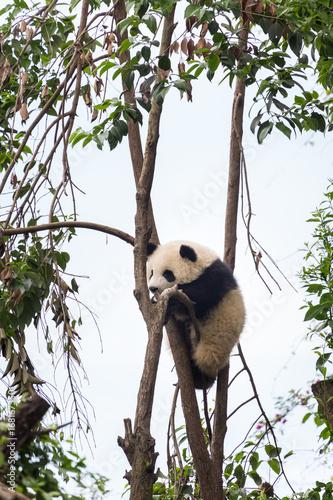 Aluminium Panda Baby panda climbing the tree.