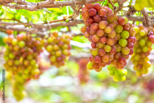 grapes in Ninh Thuan
