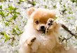 Home pet, dog. Cute Spitz gnaws cherry blossoms, closed his eyes with his paw.