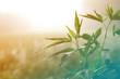 Hemp plant on a meadow in morning light, in a fog haze. Cannabis leaf