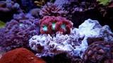 Blastomussa LPS coral in saltwater aquarium tank