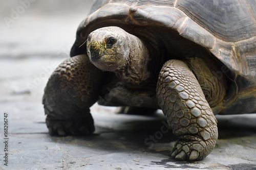 Aluminium Schildpad Aldabra giant tortoise
