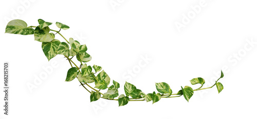 Heart shaped leaves vine golden pothos isolated on white background heart shaped leaves vine golden pothos isolated on white background tropical climbing jungle plant mightylinksfo