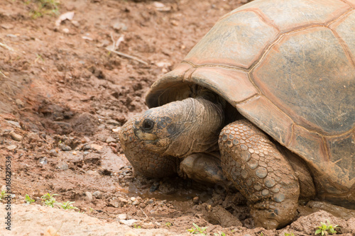 Aluminium Schildpad giant turtle