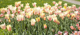 Pink tulips on flowerbed