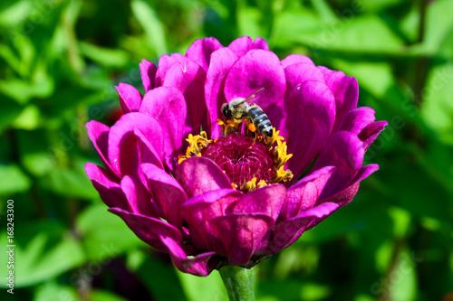 Sticker Pinke Dahlie mit Biene