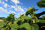 sunflowers  crops in growth at field