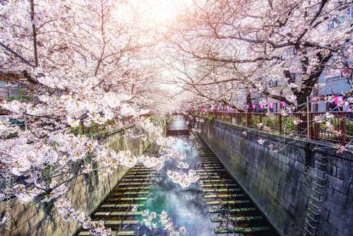 Fotobehang Tokio Cherry blossom lined Meguro Canal in Tokyo, Japan. Springtime in April in Tokyo, Japan.