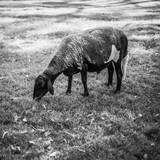 Sheep on the farm - 168260752