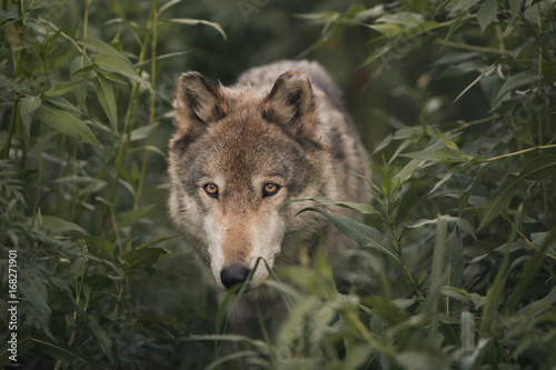 Fotobehang Wolf Wolf In The Wilderness