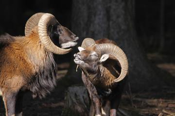 Europäischer Mufflon (Ovis ammon musimon) Widder