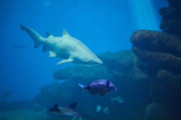 Shark on the background of coral reef and small fish.