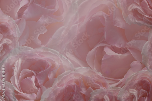 Naklejka Floral pink-white beautiful background of roses. Greeting card of flowers roses. Flower composition. Close-up. Nature.