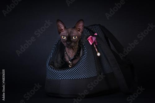 Black sphinx portrait cat