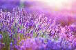 Lavender flower field at sunset. - 168327155