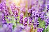 Fototapety Honeybee pollinating lavender flower field