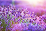 Fototapeta Lawenda - Lavender flower field at sunset. © Photocreo Bednarek