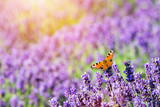 Butterfly sitting on lavender flower. - 168327194
