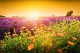 vender flower field landscape at sunset. Summer