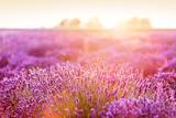 Lavender flower field at sunset. - 168328103