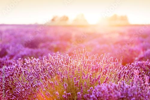 lawendowy-kwiatu-pole-przy-zmierzchem