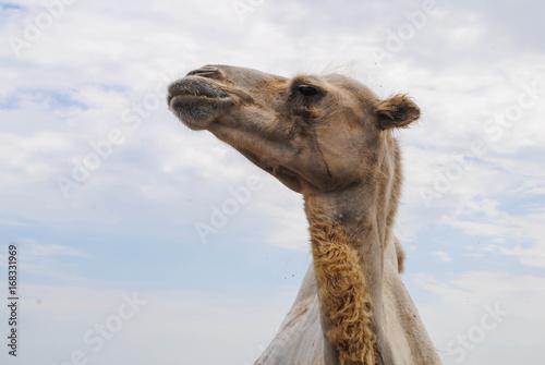 Fotobehang Kameel Adult camel