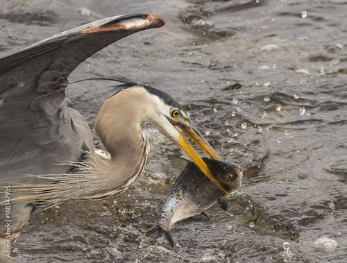 Great Blue Heron Dinner Time