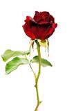Rose - 168349362
