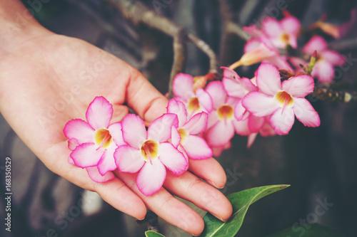 Fotobehang Azalea Hand hold Azalea flowers, Impala Lily or Desert Rose or Mock Azalea, beautiful pink flower in garden.