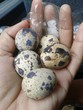 Hand holding five small quail eggs with a pinch of salt in plastic