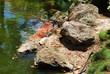 Rocks beside a pond with showers of fallen flame tree flowers