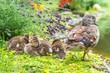 Leinwandbild Motiv Weibliche Mandarinente (Aix galericulata) im Ruhekleid wacht am Ufer eines Teichs über ihre Küken, Lavendel, Ostharz, Sachsen-Anhalt, Deutschland, Europa