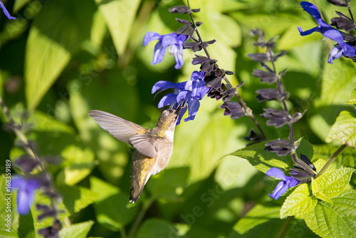 Hummingbird w kwiacie
