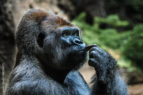 Gorilla Portrait Poster