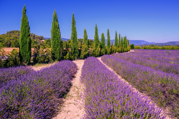 Lavender fields and cypress trees in Provence, France
