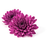 Lilac chrysanthemum flower isolated on white background - 168388354