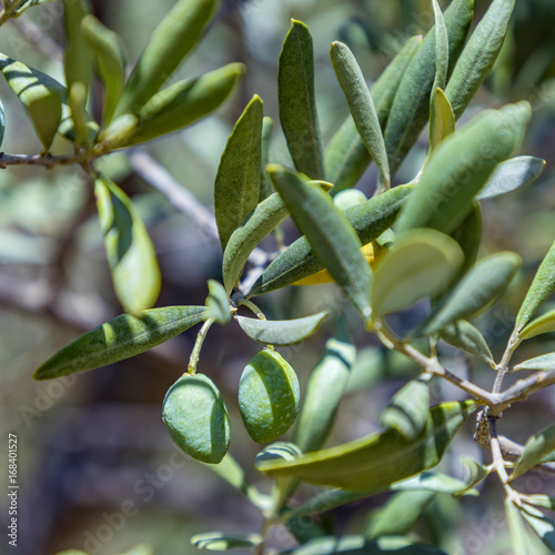detail of olive tree with Olive