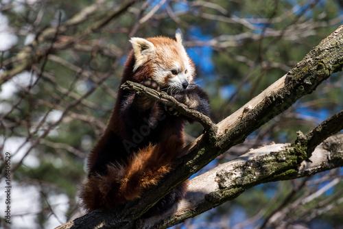 Aluminium Panda Red panda or ailurus fulgens