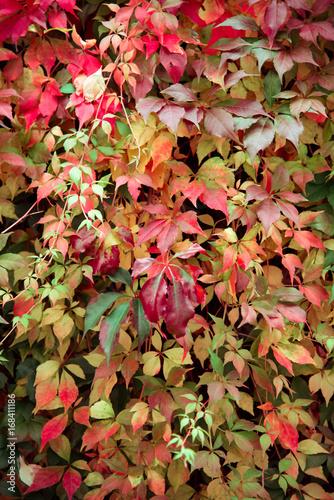 Fotobehang Tuin bunte blätter im herbst an hauswand