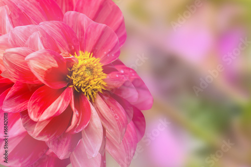 Foto op Canvas Candy roze colorful of dahlia and green leaf with sun light,