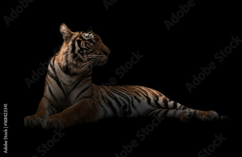 Plexiglas Panter female bengal tiger in the dark