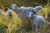 Sheep on the pasture - 168429353