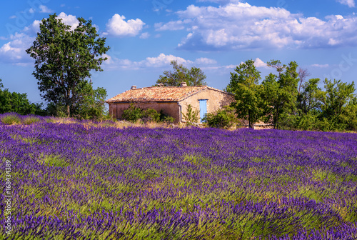 Poster Snoeien Blooming lavender field in Provence, France