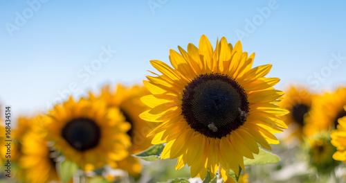 Foto op Canvas Oranje Sonnenblumen, Bienen und blauer Himmel, Breitbild