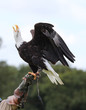 Close up of a Bald Eagle landing on a falconers glove and calling