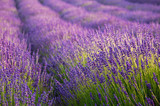Blooming lavender fields in Little Poland - 168445140